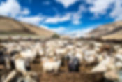 Herd-of-Cashmere-(Pashmina)-goats-in-Cha