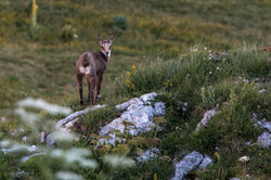 Chamois, chartreuse
