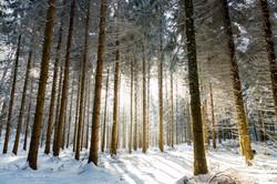 Forêt en Chartreuse, Isère