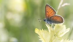 Papillon, Chartreuse