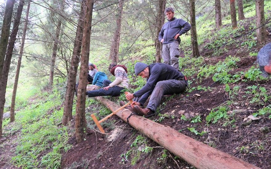 ניסור גזע העץ למקטעים לפני הביקוע