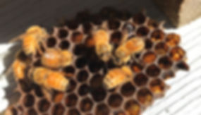 Bees on honeycomb_edited.jpg