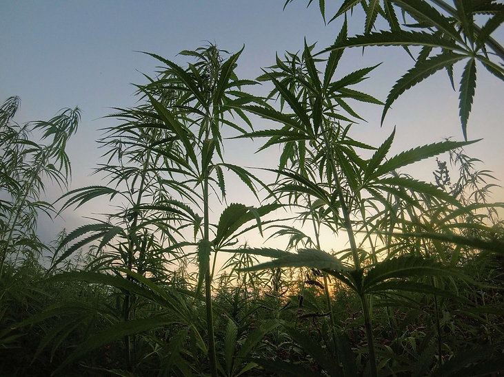 cannabis africa.jpg