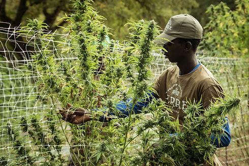 terre-di-cannabis-epI_rEeUrJA-unsplash.j