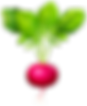 kisspng-radish-vector-graphics-clip-art-