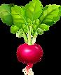 kisspng-radish-vector-graphics-clip-art-