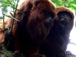 Protección de los monos carayá rojo para el ecosistema y para la salud pública