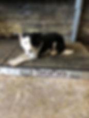 collie-dog-injury-2.jpg
