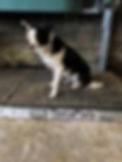 collie-dog-injury.jpg