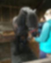 Sarah-Jane-Morey-Fell-Pony2.jpg