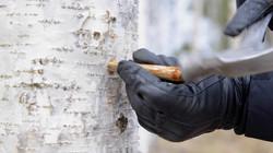 Harvesting birch sap