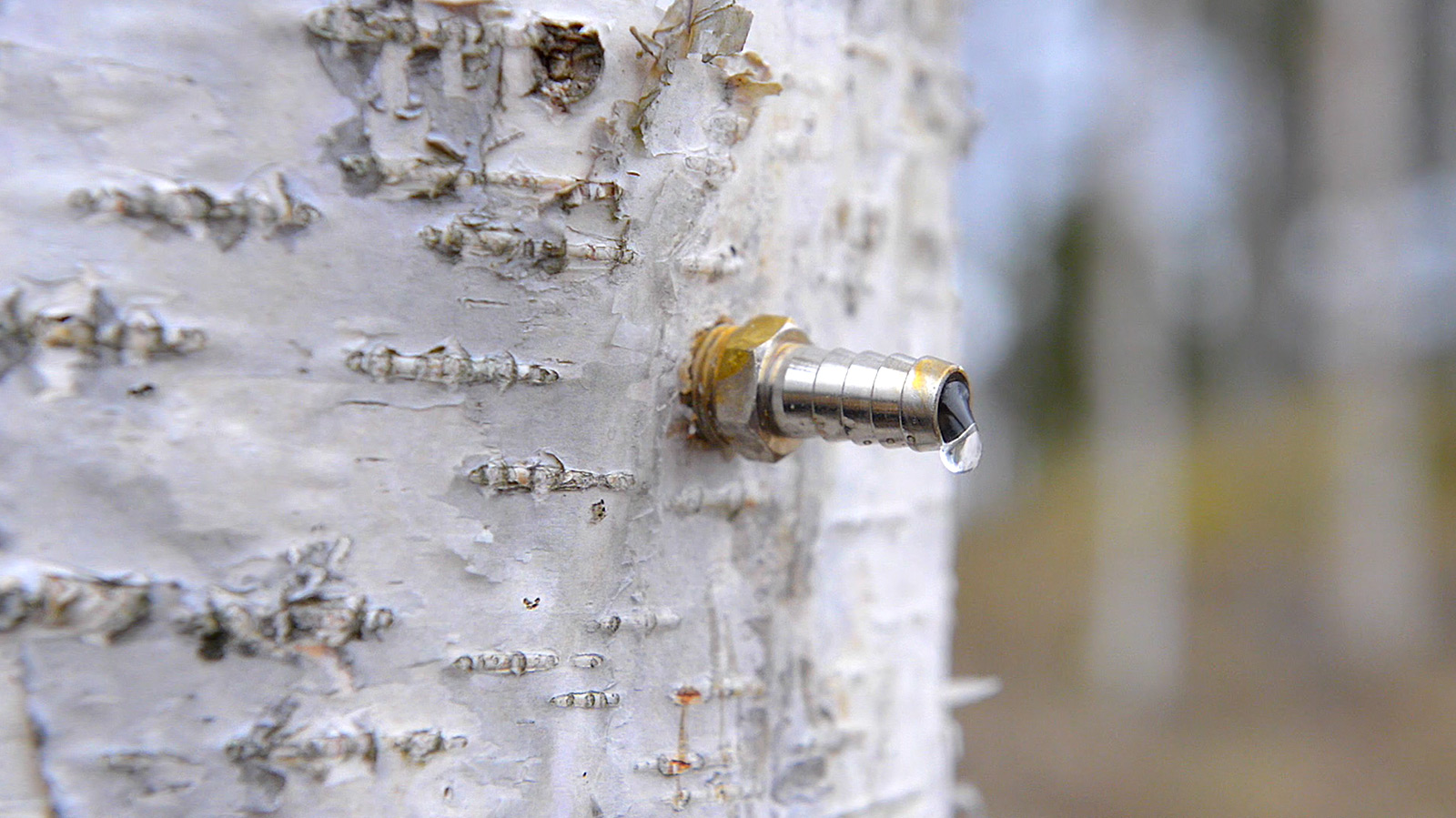 Harvesting birch sap
