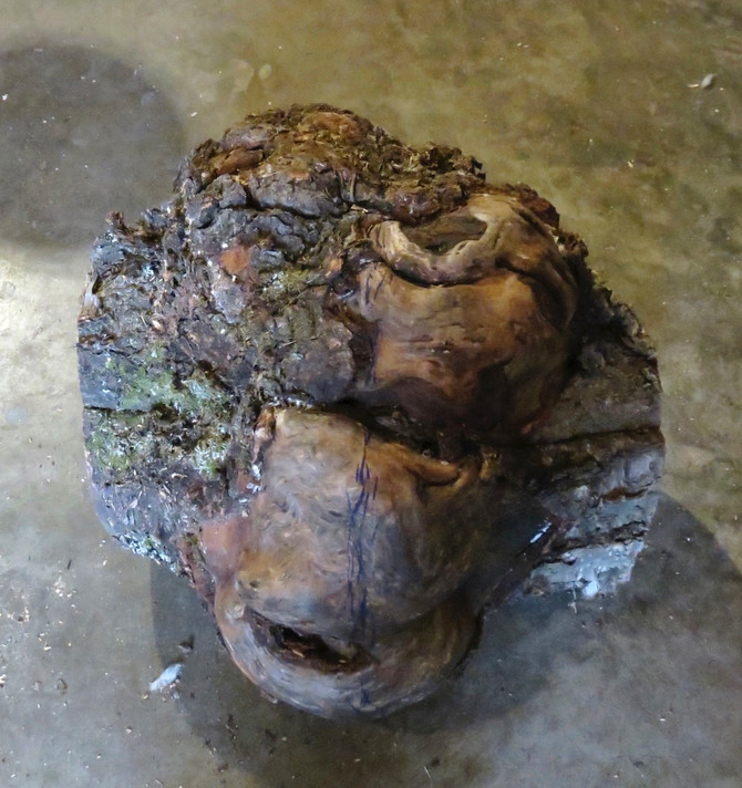 Old Decayed Birch Burl