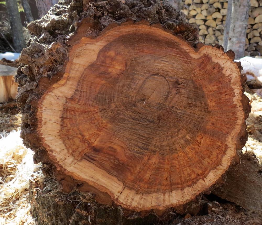 Cross section of large elm burl