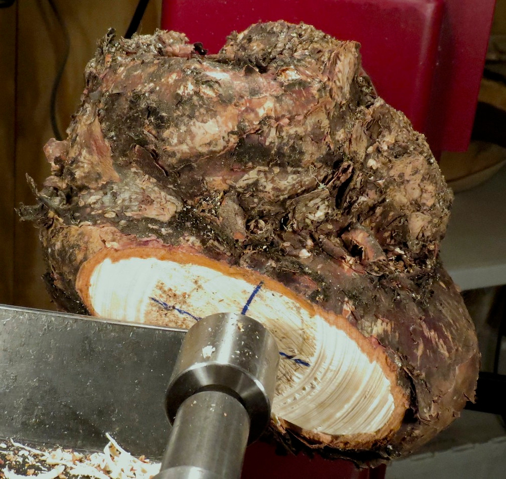 Sugar maple cluster of burls ready for turning