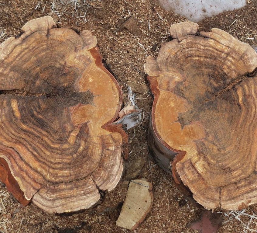 Large Birch Burl