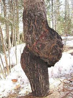 amazing twisted aspen burl from the north shore of Lake Superior