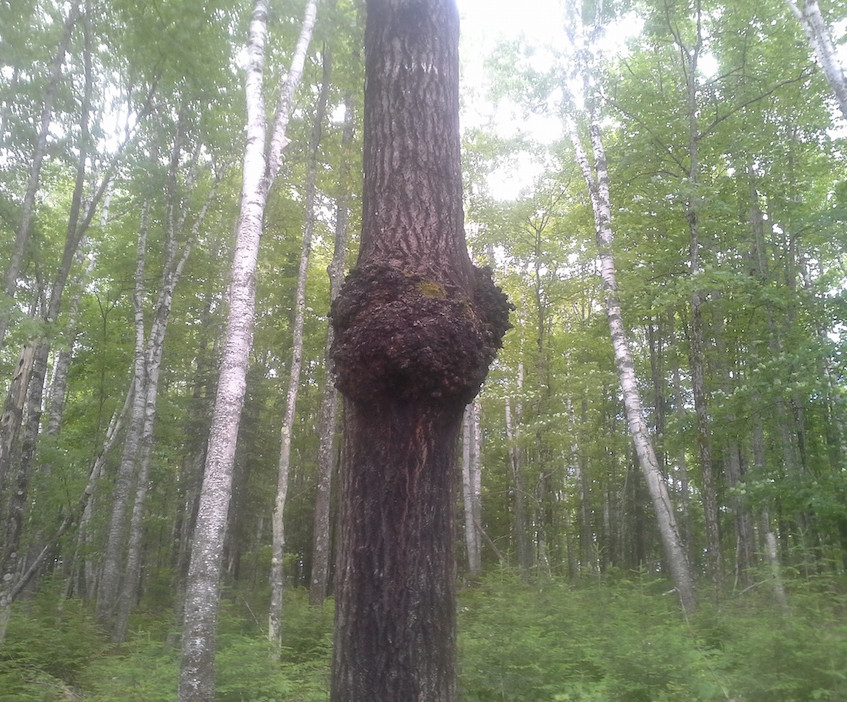 The Aspen Burl in the Woods