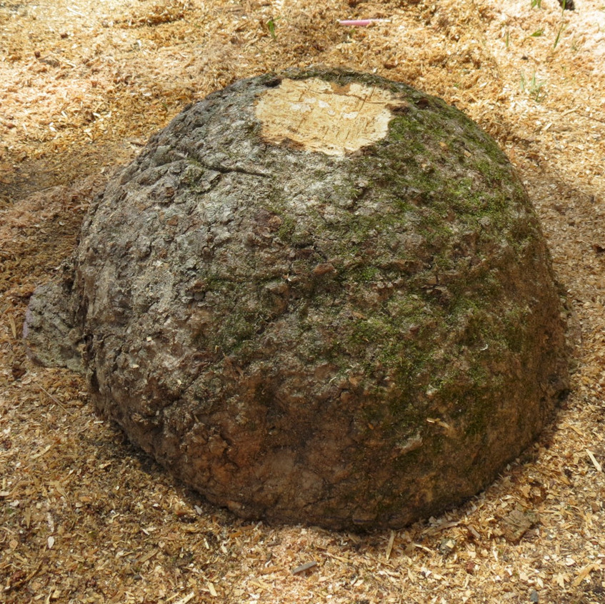 Large Black Ash Burl