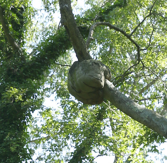 Large Oak Burl