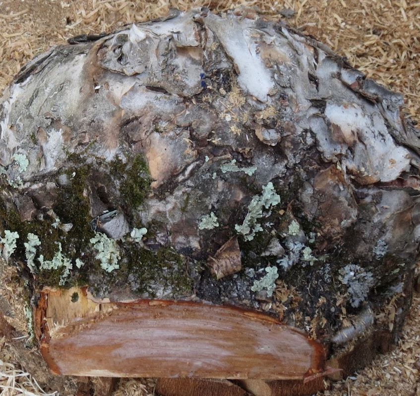 Birch Burl cut from Tree