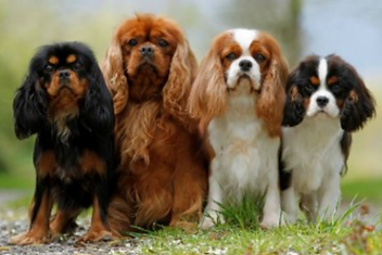 Four coat variations for the Cavalier King Charles Spaniel