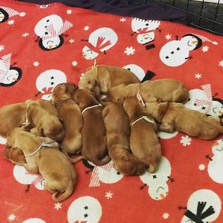 Beautiful puppies 😍__#7barl #goldenretriever #goldenretrieverpuppies #akc #fromm #frommdogfood
