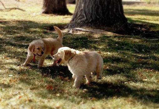 Golden Retriever Puppies in Texas