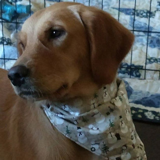 Reba sporting her new bandana__#7barl #goldenretriever #akc #akcgoldenretriever #fromm #christmastime #favoritetimeoftheyear
