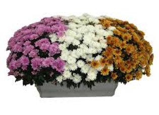 Balconnière de Chrysanthèmes mutltifleurs (3 couleurs)