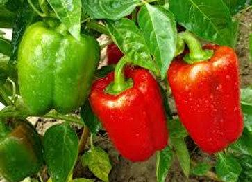 Plants de poivrons lamuyo (vert/rouge)
