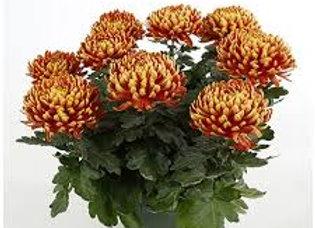 Chrysanthème grosses fleurs