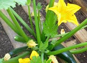 Plants de courgettes longues vertes