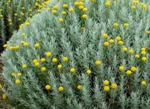 Santoline fleurie