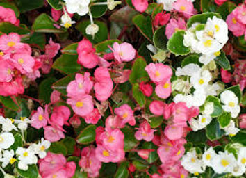 Plant de bégonia semperflorens
