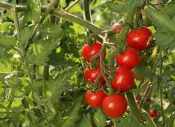 Plants de tomate cerise ronde rouge