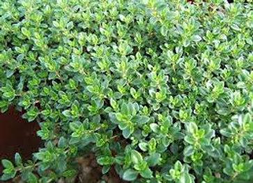Plant de Thym citron