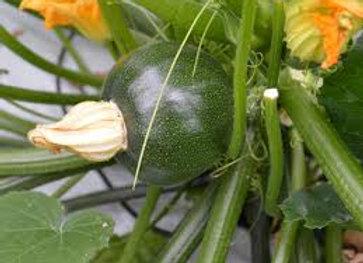Plant de courgette ronde verte