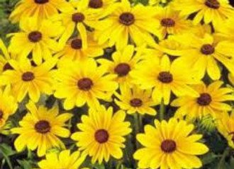 rudbeckia indian summer (jaune)