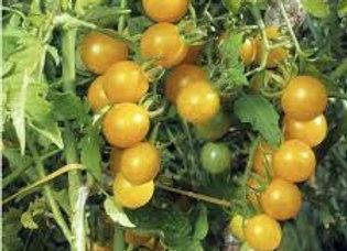 Plants de tomate cerise ronde jaune