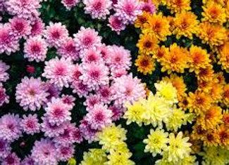 Chrysanthème multifleurs 3 couleurs