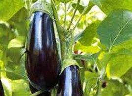 Plants d'aubergine longue greffée