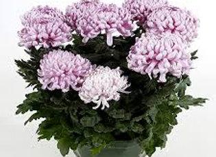 Coupe de Chrysanthème grosses fleurs (3 boutures)