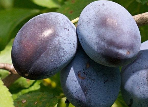 Prunes Quetsches