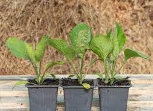 Plants d'aubergine longue