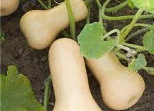 Plant de courge butternut