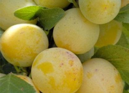 prunes (mirabelles)