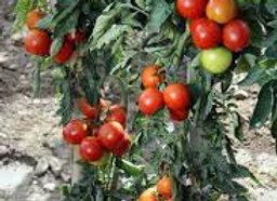Plants de tomate greffée