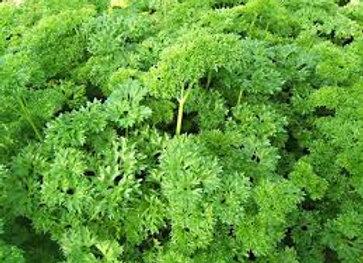Plants de persil frisé