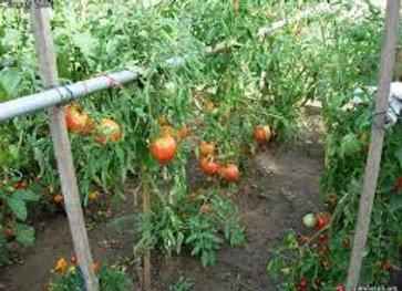 Plants de tomates coeur de boeuf